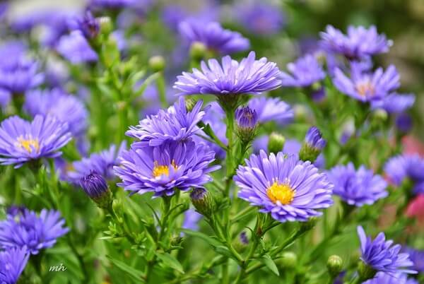 Ý nghĩa hoa thạch thảo trong tình yêu và cuộc sống