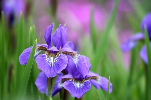 Ý nghĩa hoa Diên Vĩ (Iris) – Loài hoa thiêng trong truyền thuyết