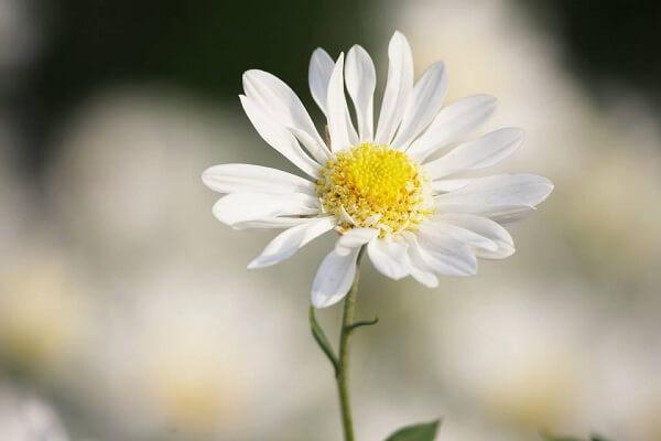 8 Loại hoa cúc đẹp và dễ trồng tại Việt Nam