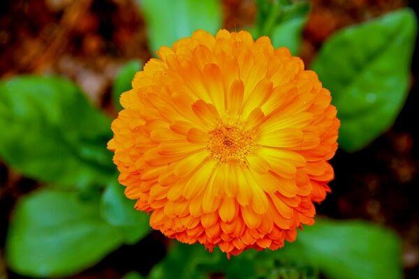 Các loại hoa cúc đẹp dễ trồng tại Việt Nam