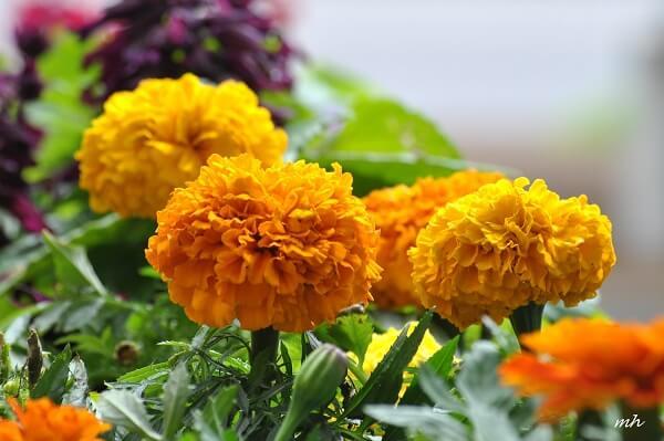 Các loại hoa cúc đẹp dễ trồng tại Việt Nam hình ảnh 3