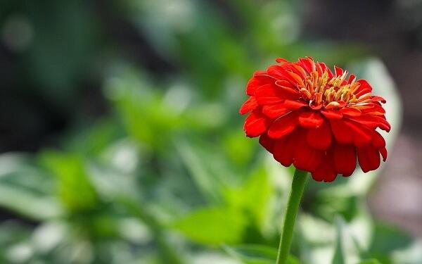 các loại hoa cúc đẹp dễ trồng tại Việt Nam hình ảnh 4