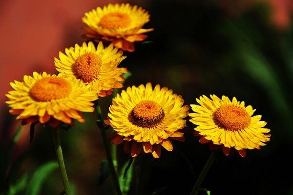 các loại hoa cúc đẹp dễ trồng tại Việt Nam hình ảnh 6