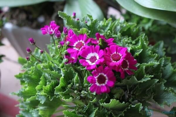 các loại hoa cúc đẹp dễ trồng tại Việt Nam hình ảnh 7