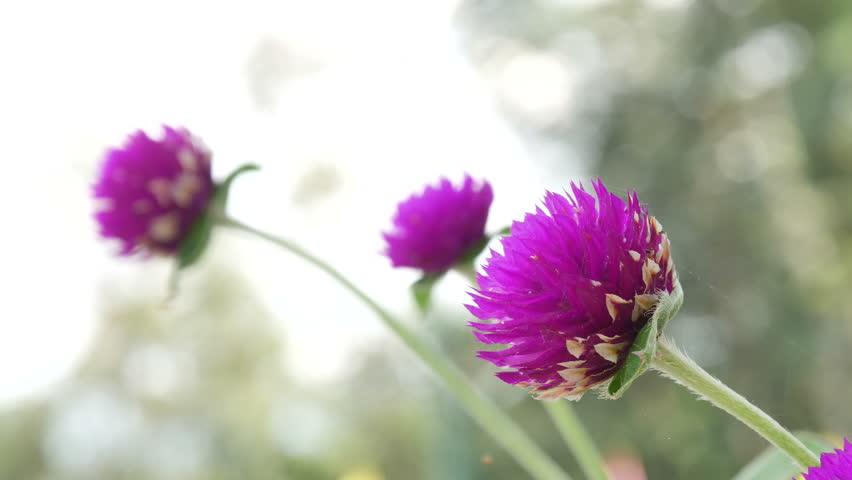 các loại hoa cúc đẹp dễ trồng tại Việt Nam hình ảnh 5
