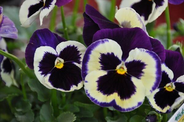 Các loài hoa đẹp dễ trồng cho ngôi nhà thêm sắc hương hình ảnh 2