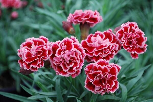 Cách trồng hoa cẩm chướng bằng hạt trong chậu