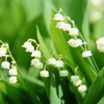Ý nghĩa hoa linh lan trong cuộc sống